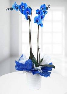 cift dallı mavi orkide
